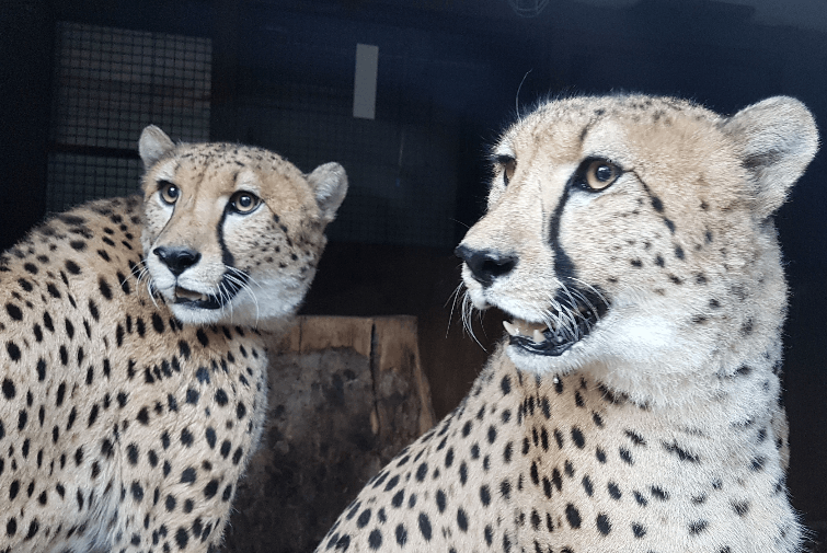 Młode gepardy w gdańskim ZOO